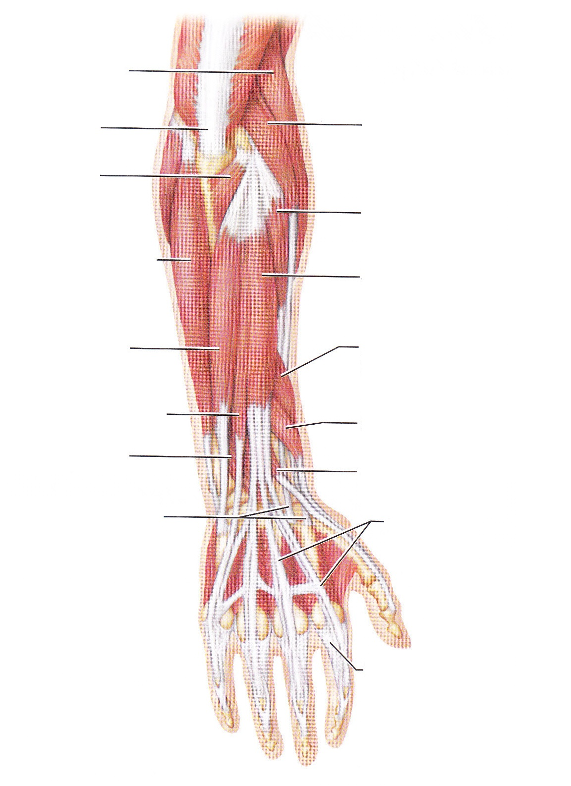 diagram of shoulder muscles and tendons  diagram  free